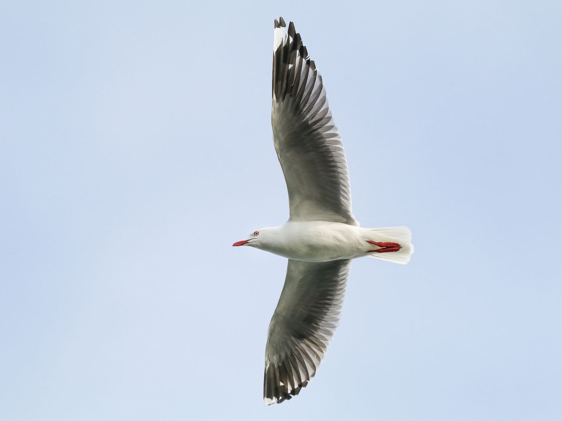 Silver Gull (Silver) - Ged Tranter