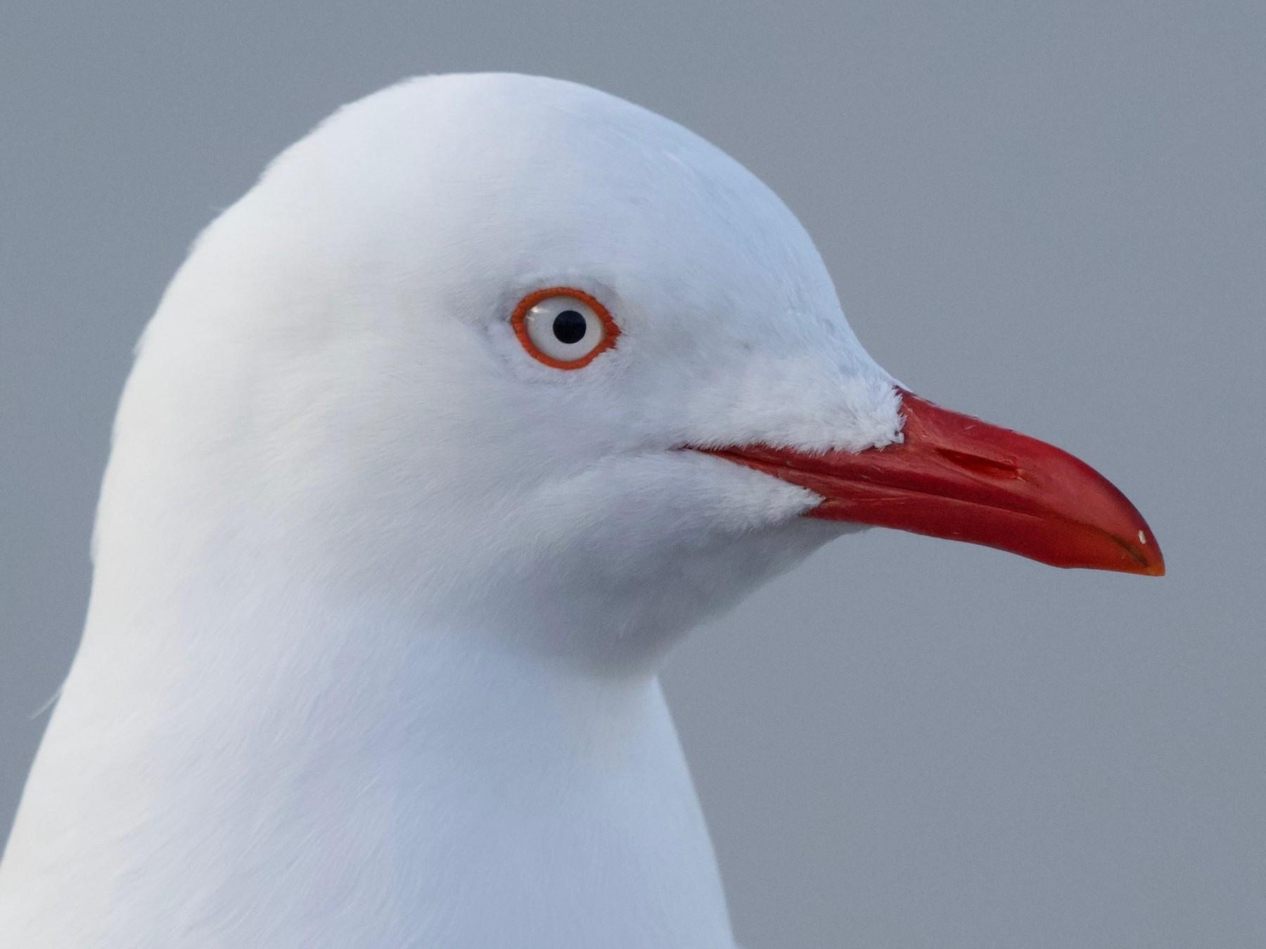 Silver Gull (Silver) - David  Tytherleigh