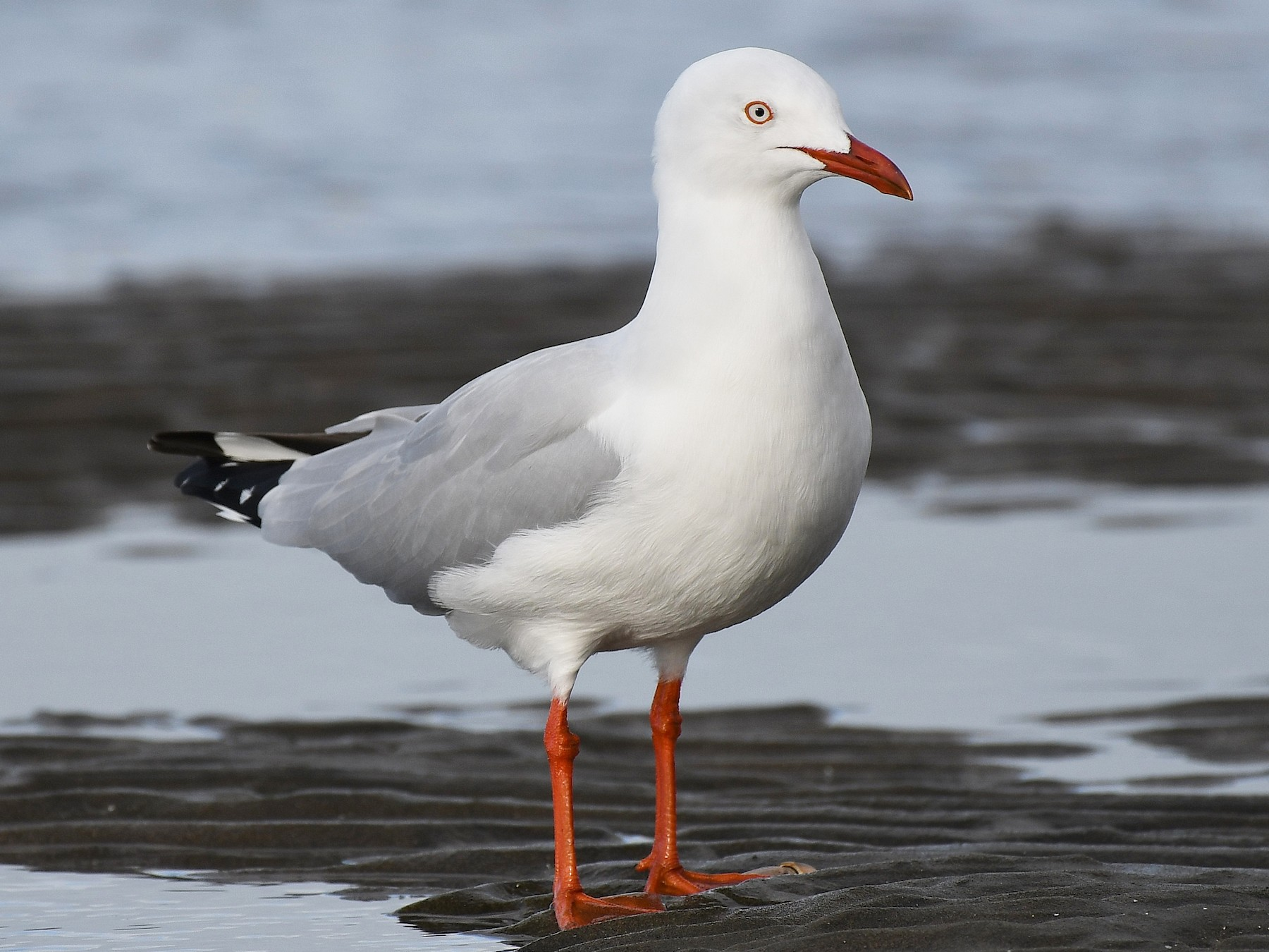 Silver Gull (Silver) - Terence Alexander