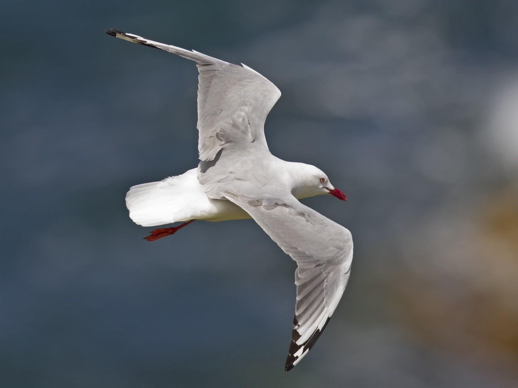 Silver Gull - Mat Gilfedder