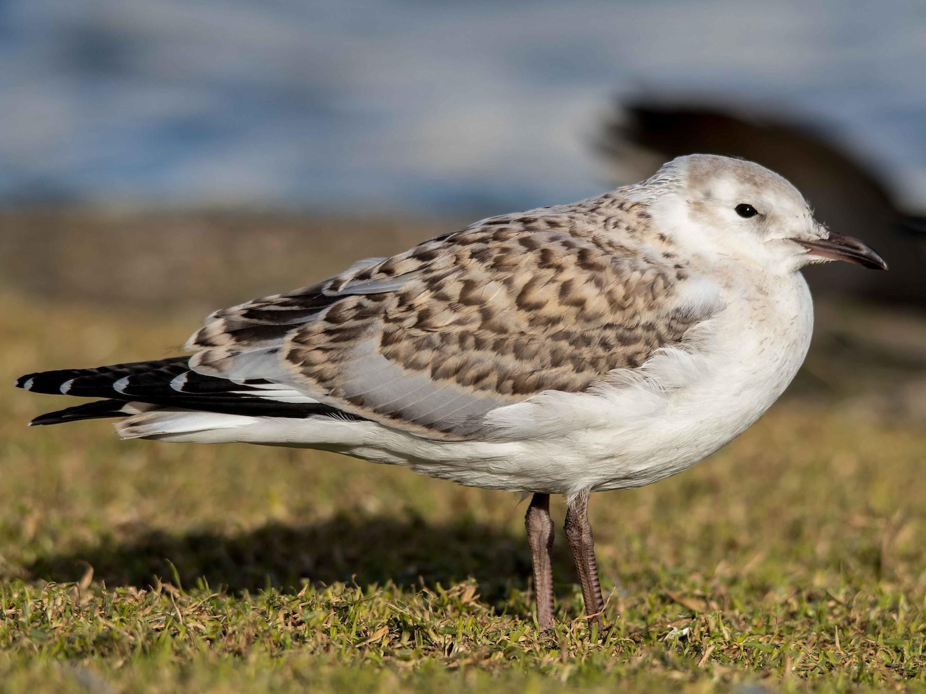 Silver Gull - Andrew Allen