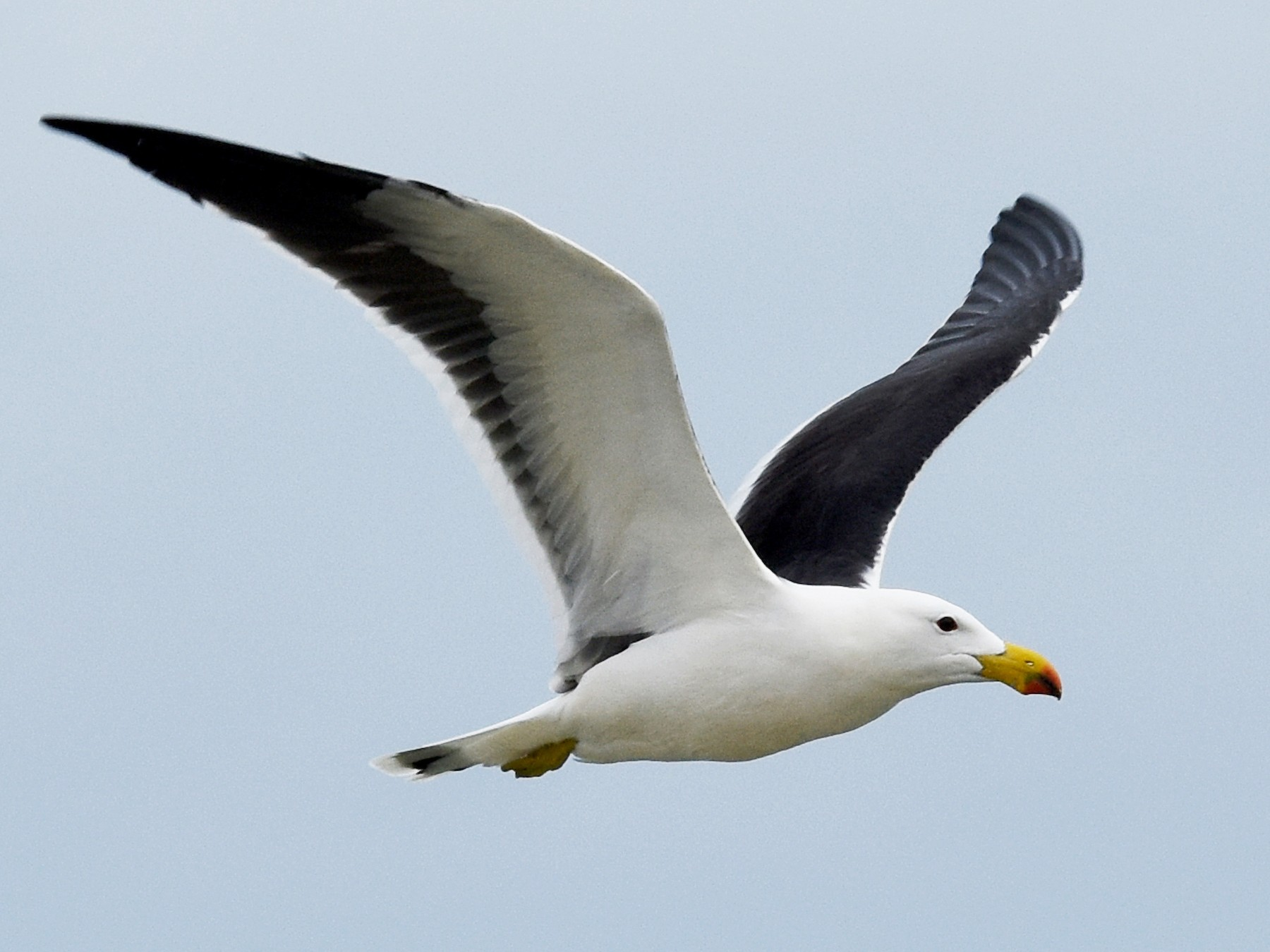 Pacific Gull - Geoffrey Groom