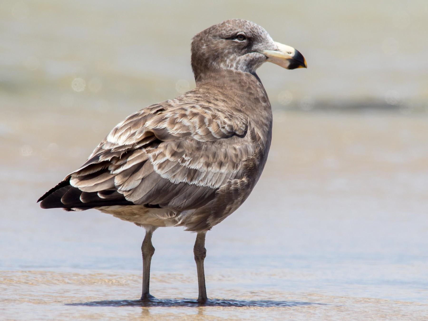 Pacific Gull - Andrew Allen