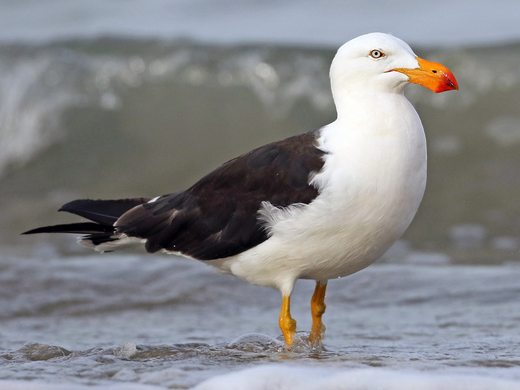 Pacific Gull - Luke Seitz