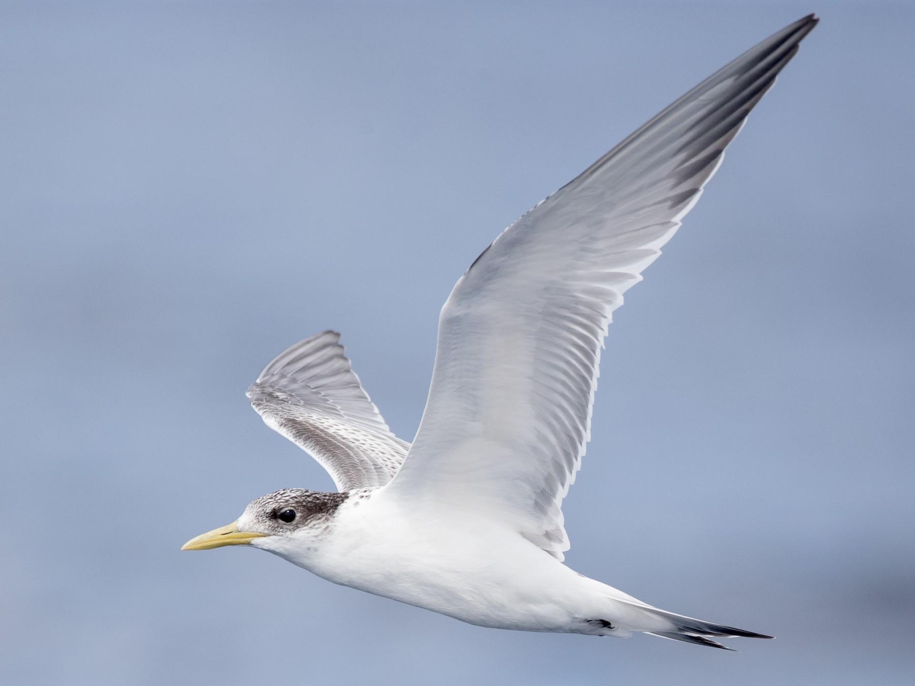 Great Crested Tern - Ian Davies