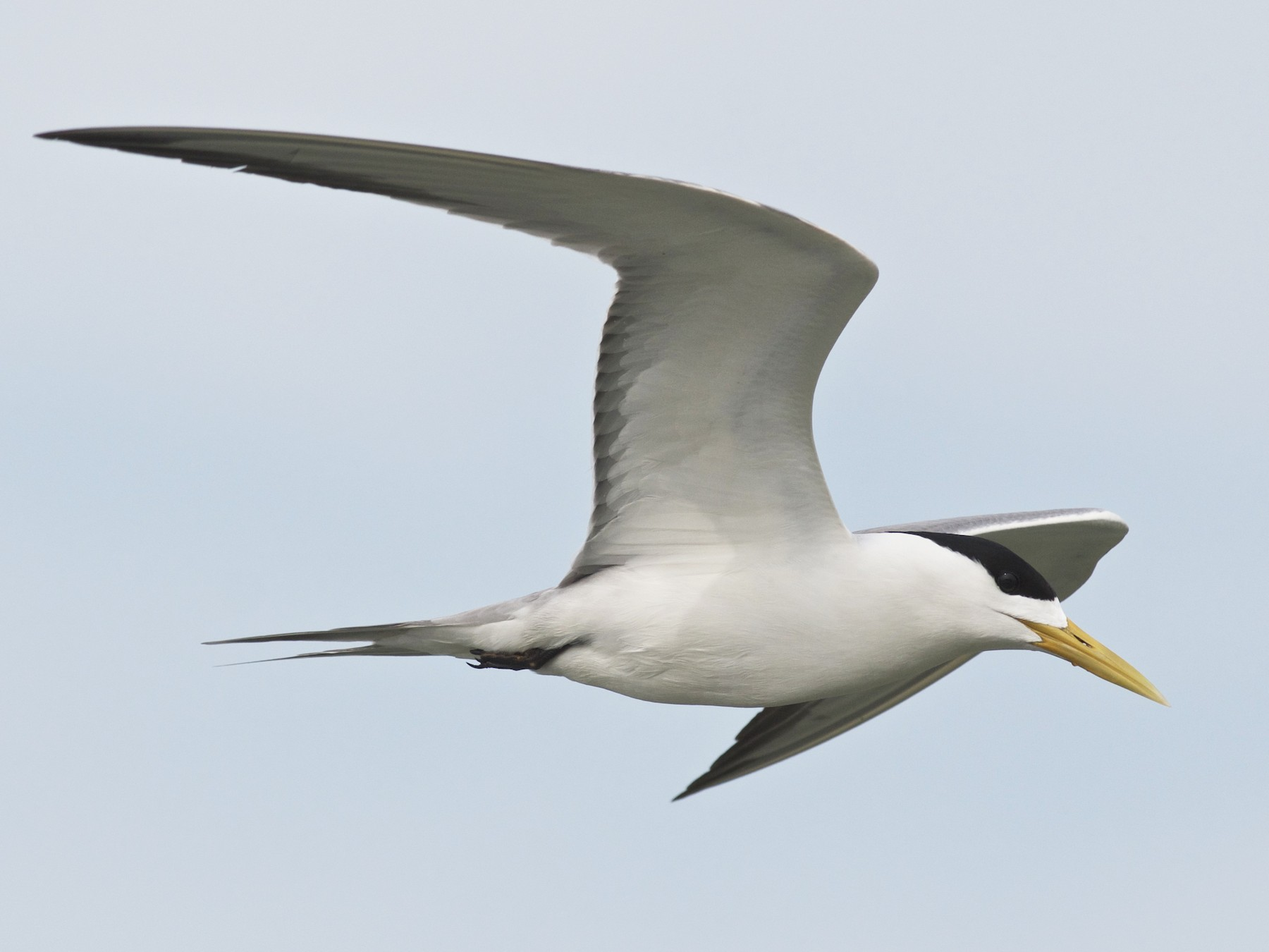Great Crested Tern - Chun-Chieh Liao
