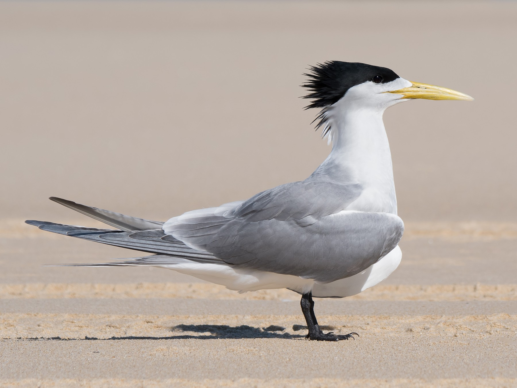 Great Crested Tern - Hayley Alexander