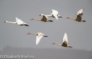Tundra Swan, ML122670481