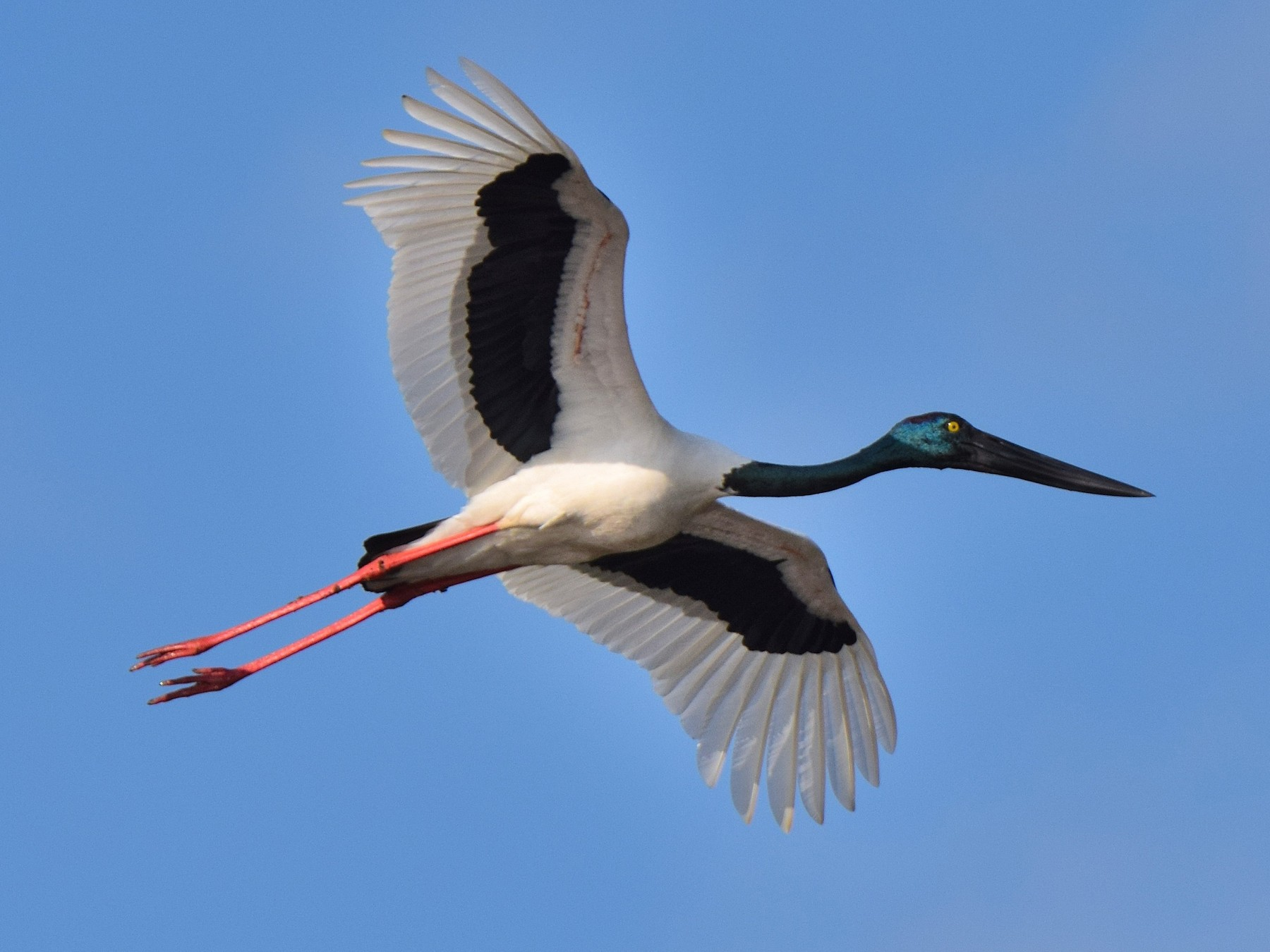 Black-necked Stork - Chris Wills