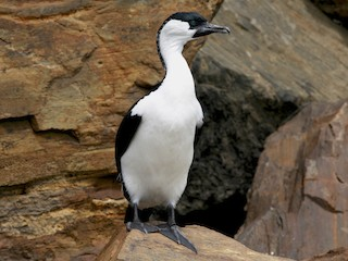 - Black-faced Cormorant