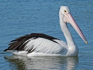 - Australian Pelican