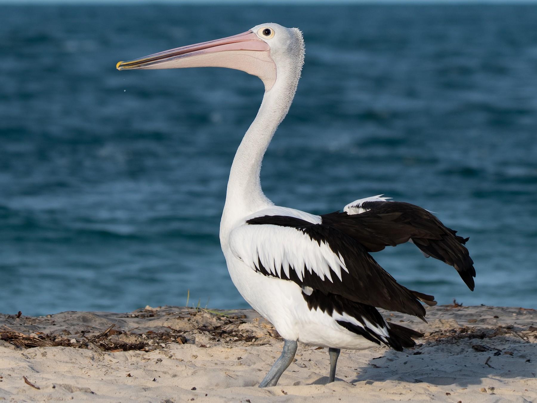 Australian Pelican - Hayley Alexander