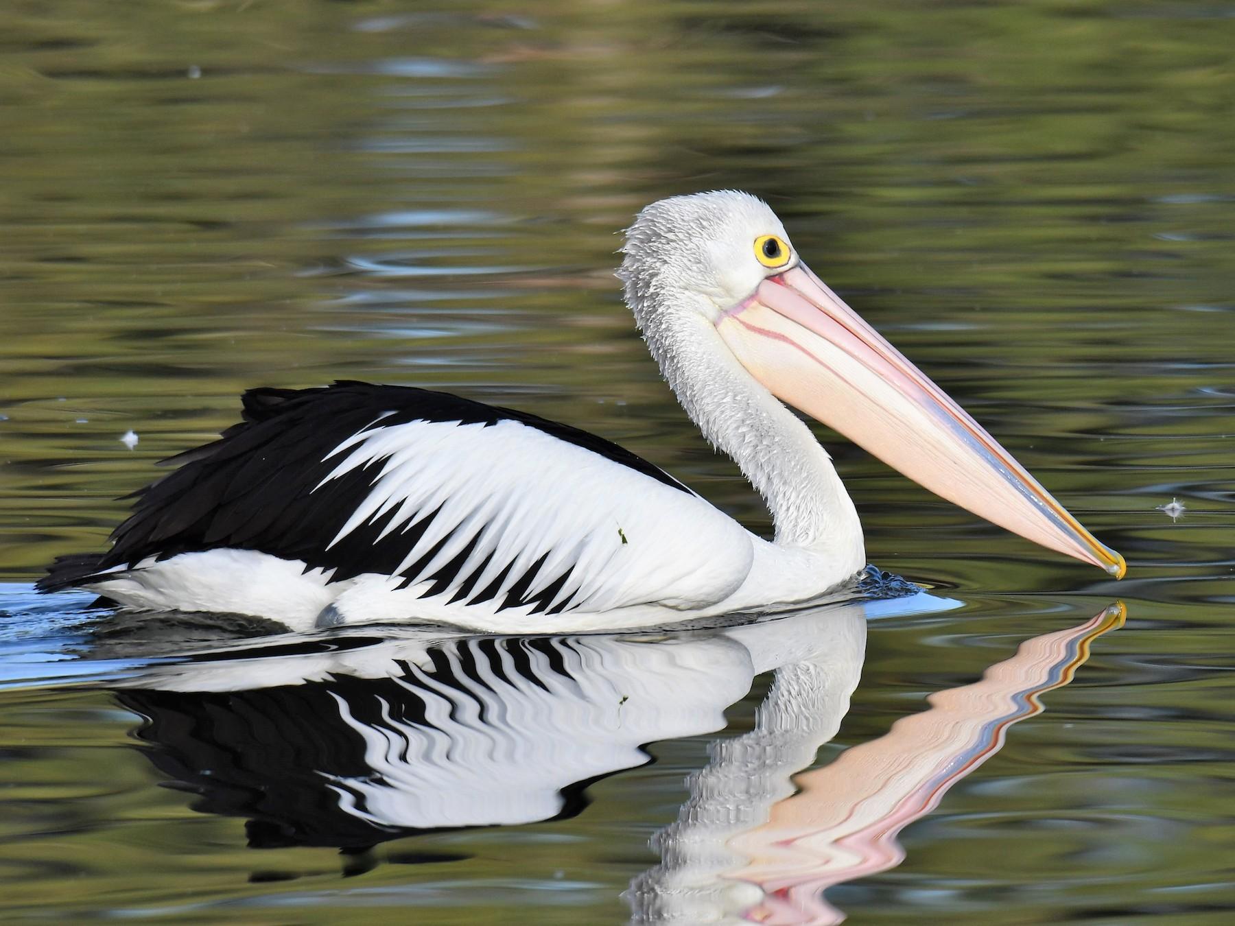 Australian Pelican - Chris Munson