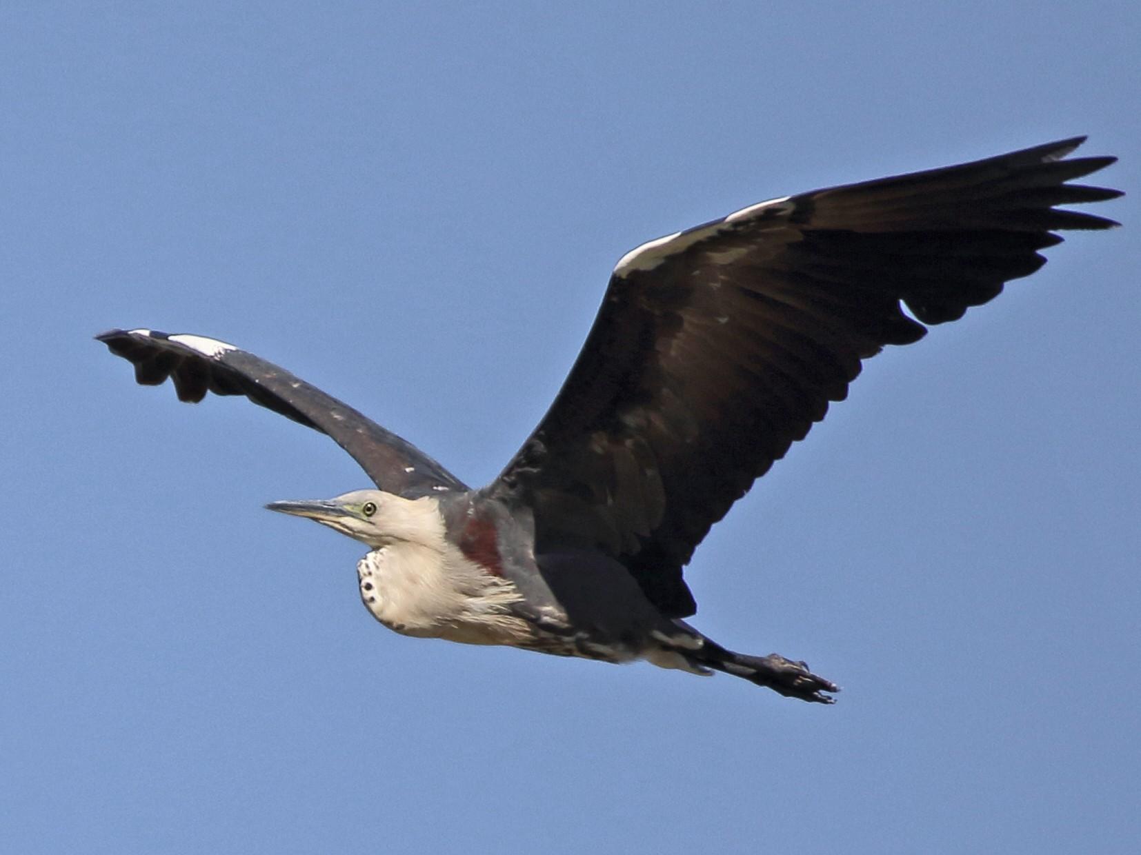Pacific Heron - Scott Eaton