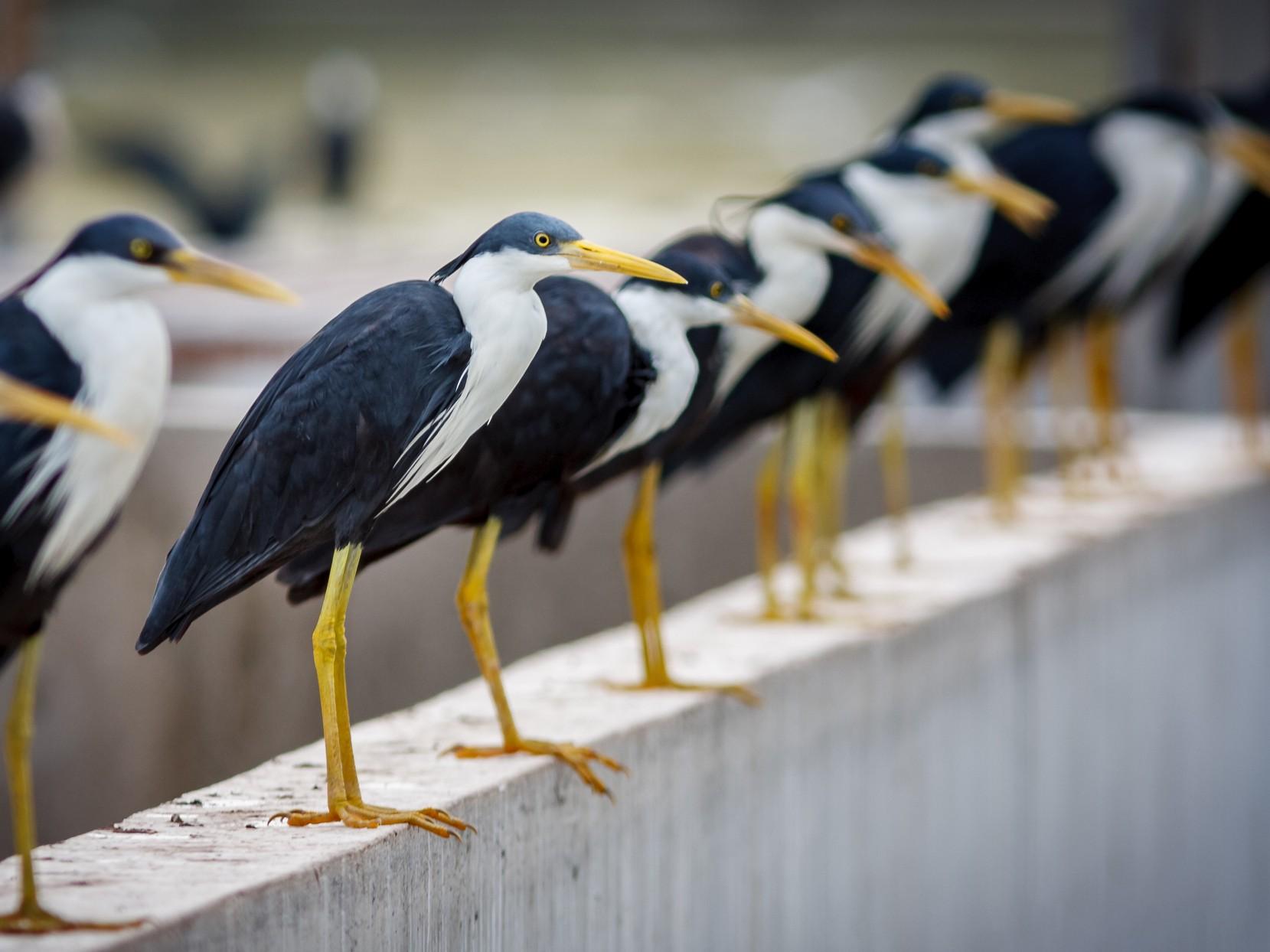 Pied Heron - Luke Shelley