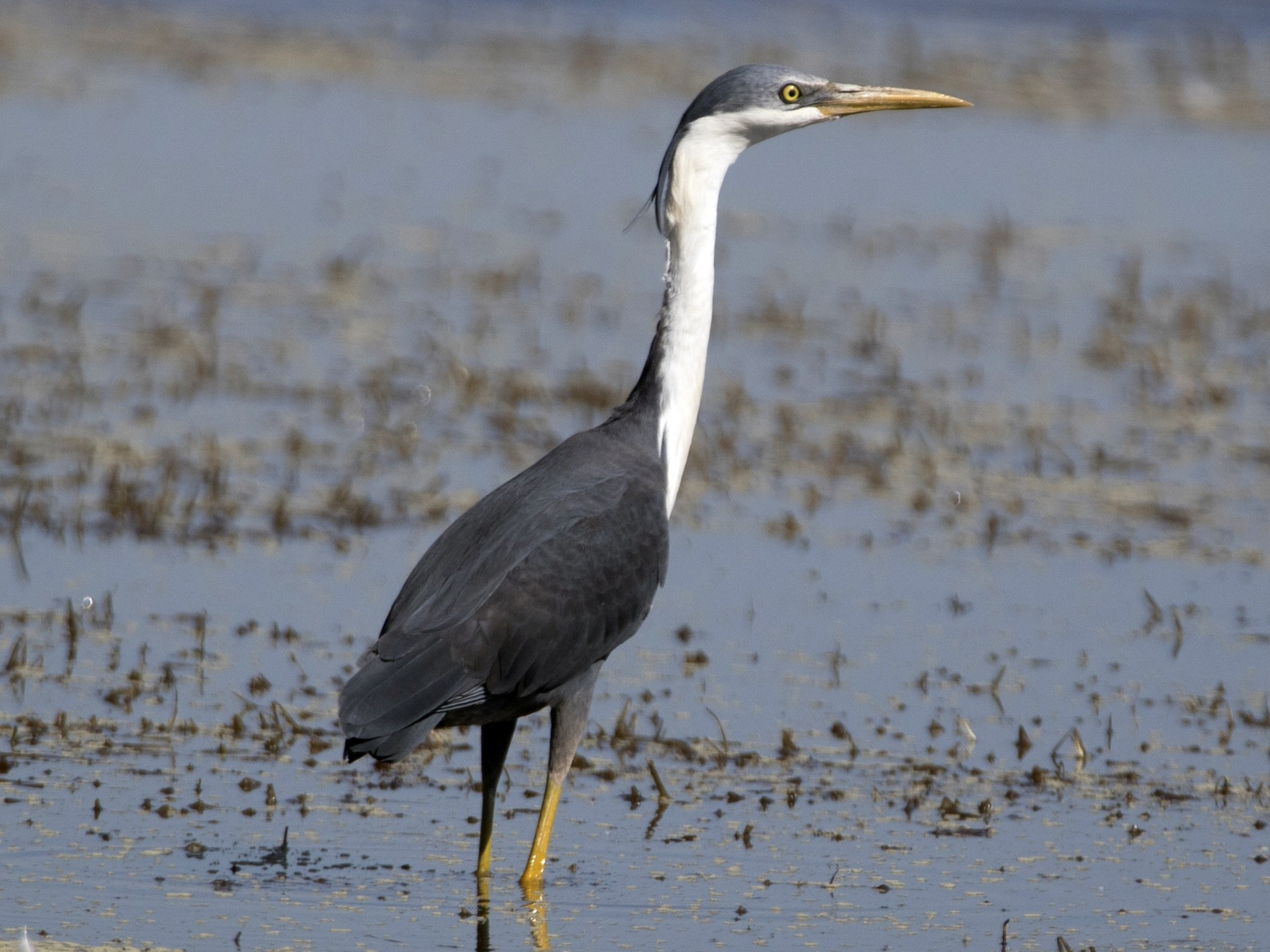 Pied Heron - John Cantwell
