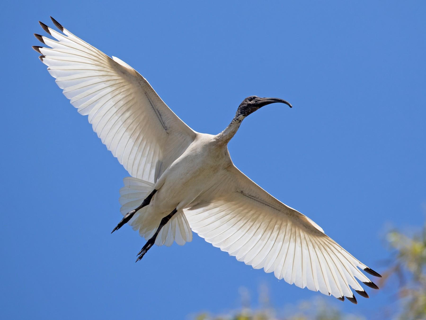 Australian Ibis - Ian Davies