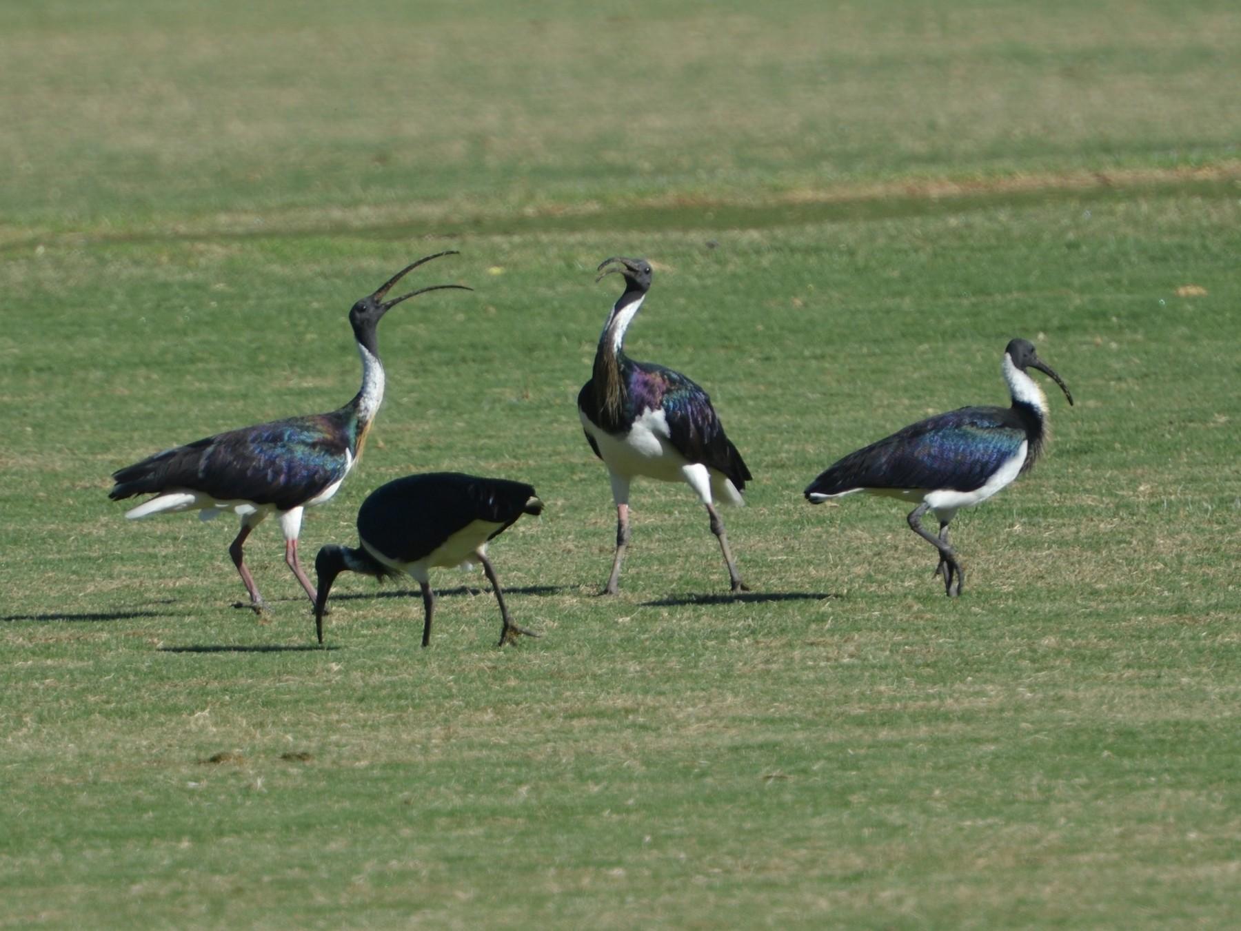 Straw-necked Ibis - Dirk Tomsa