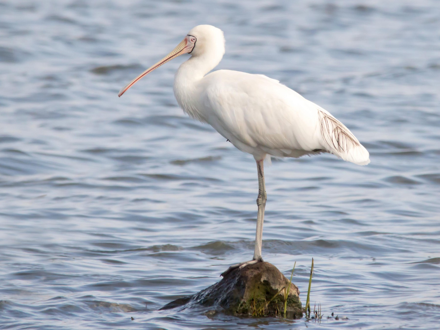 Yellow-billed Spoonbill - Andrew Allen