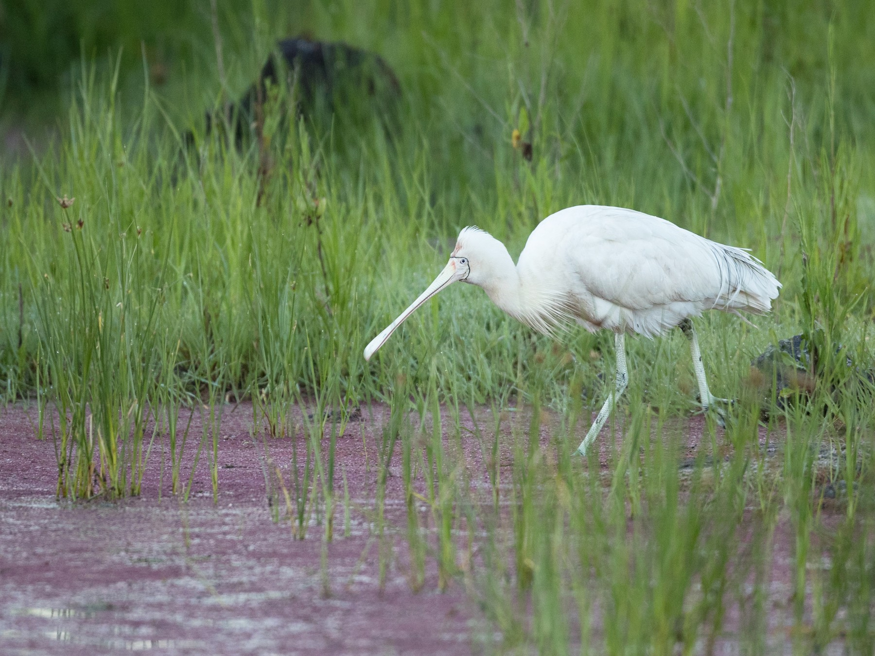 Yellow-billed Spoonbill - Ian Davies