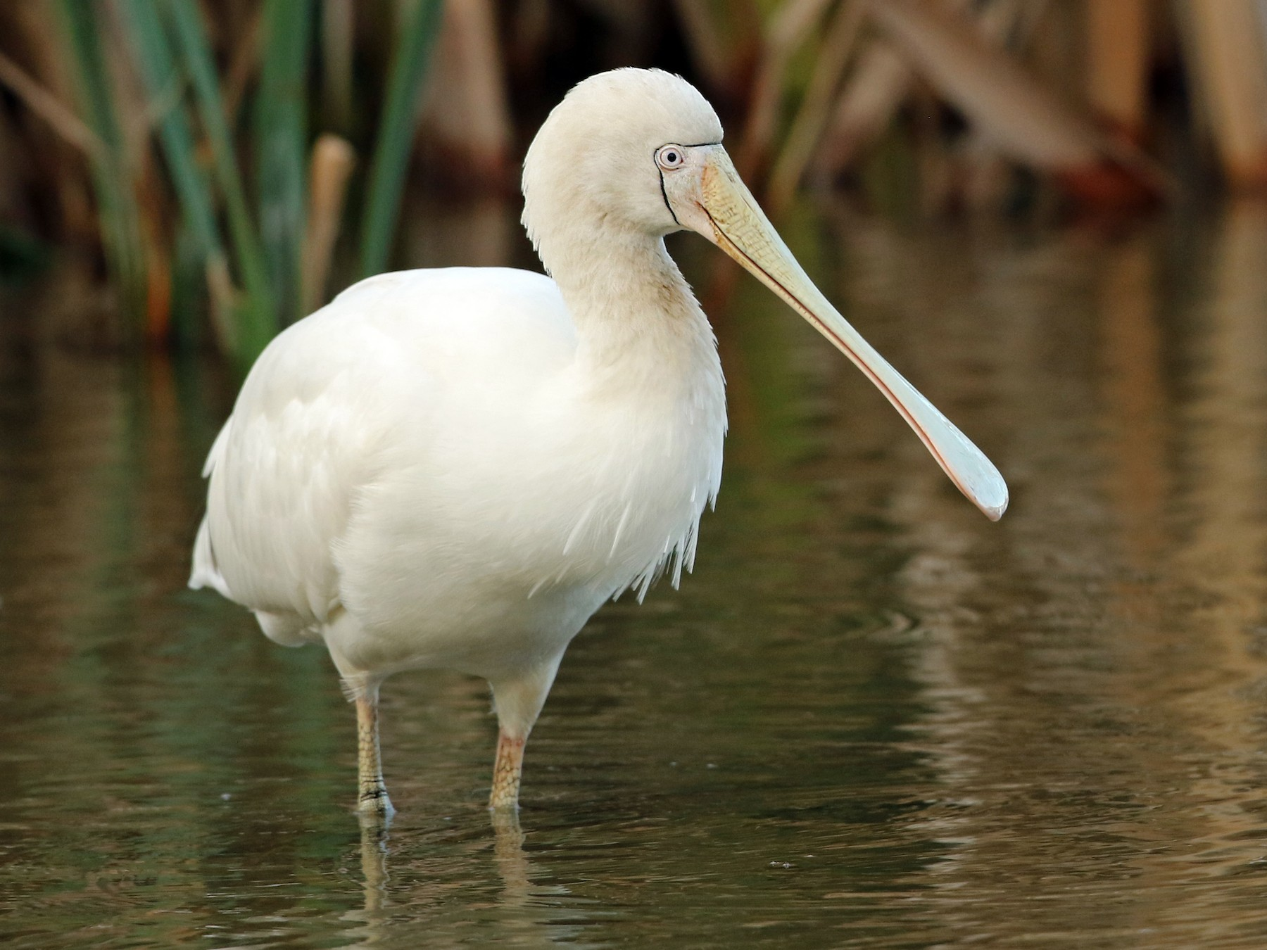 Yellow-billed Spoonbill - Luke Seitz