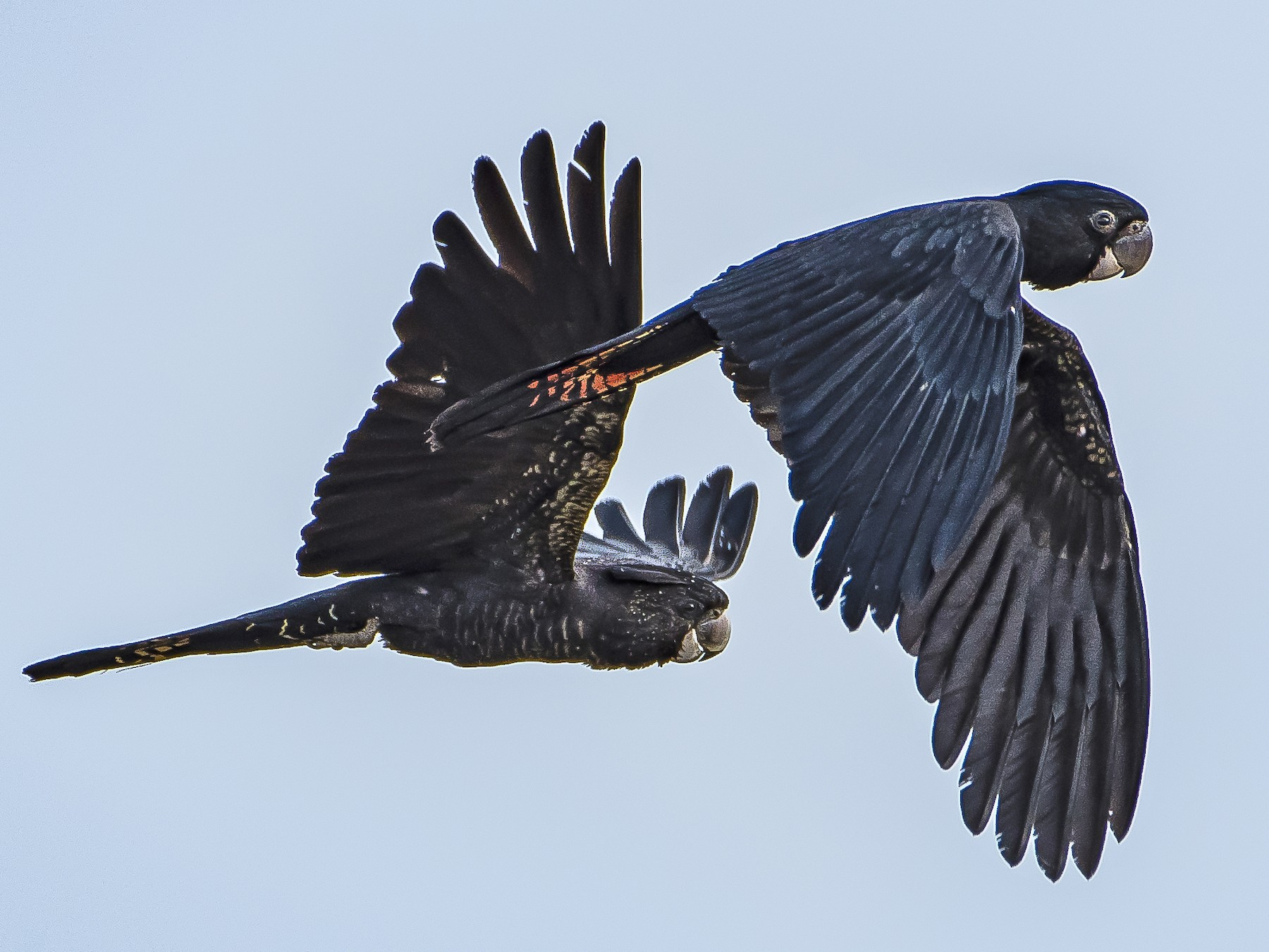 Red-tailed Black-Cockatoo - Lucas Brook