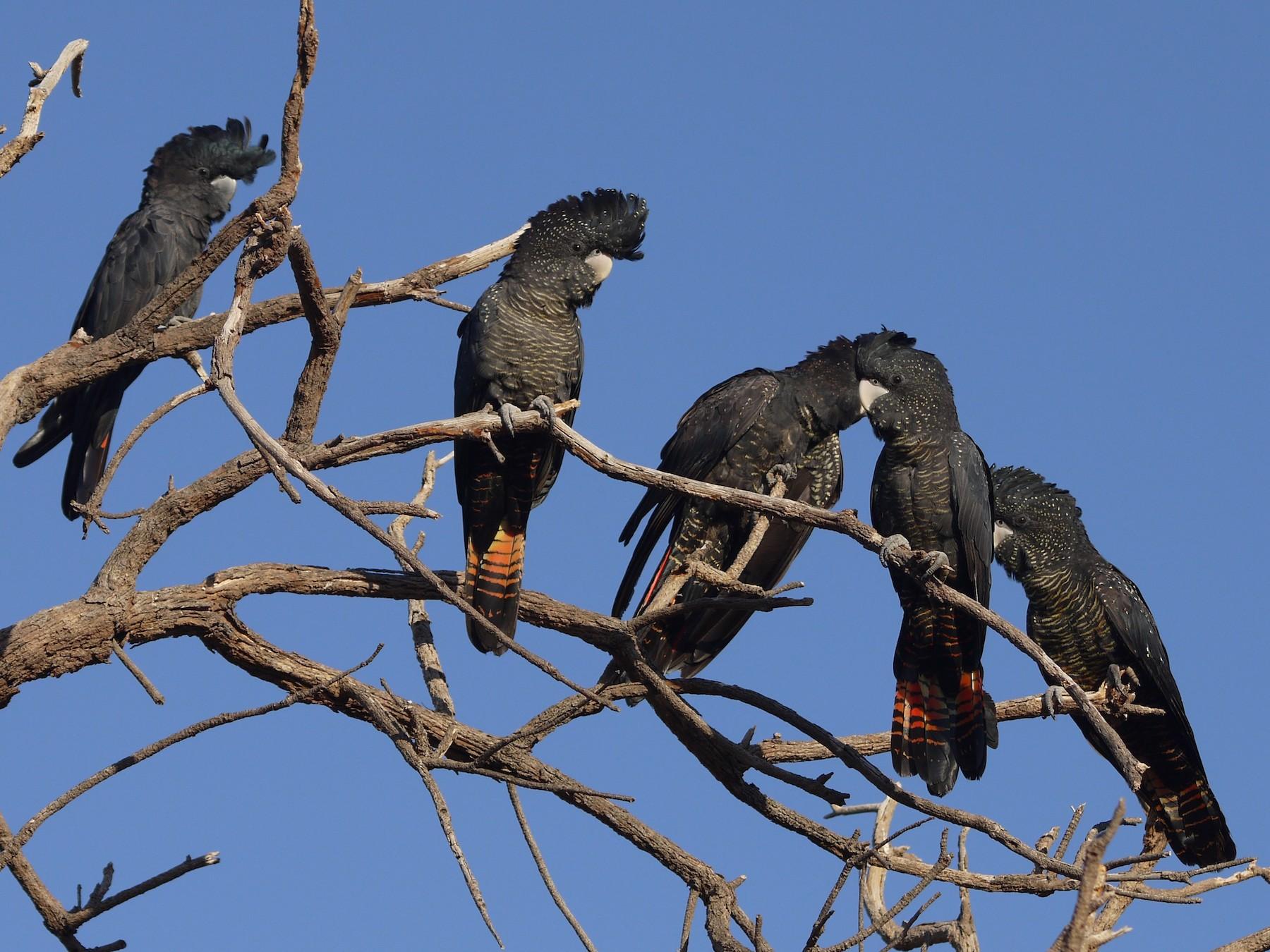 Red-tailed Black-Cockatoo - Jennifer Smith
