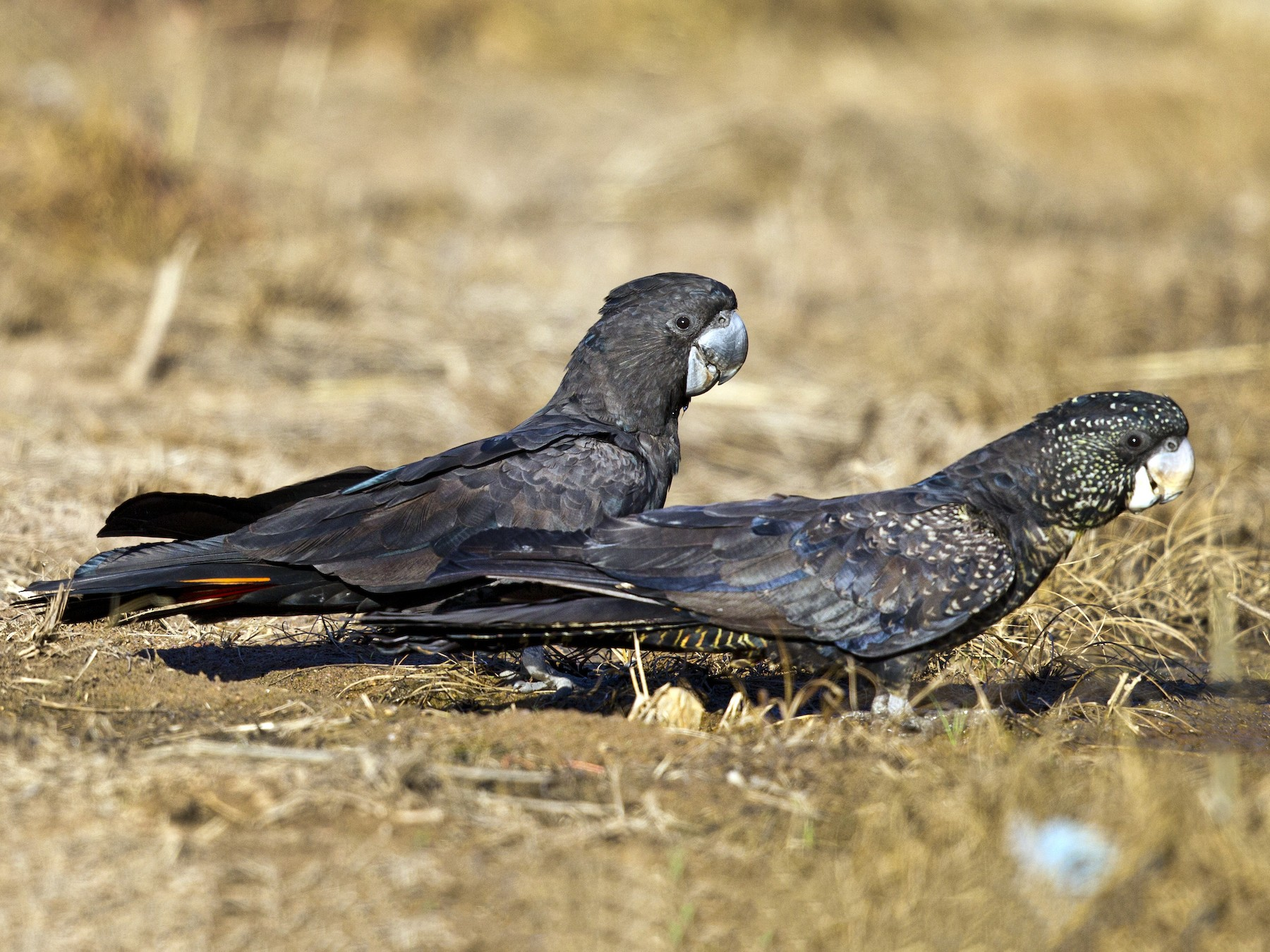 Red-tailed Black-Cockatoo - Mat Gilfedder