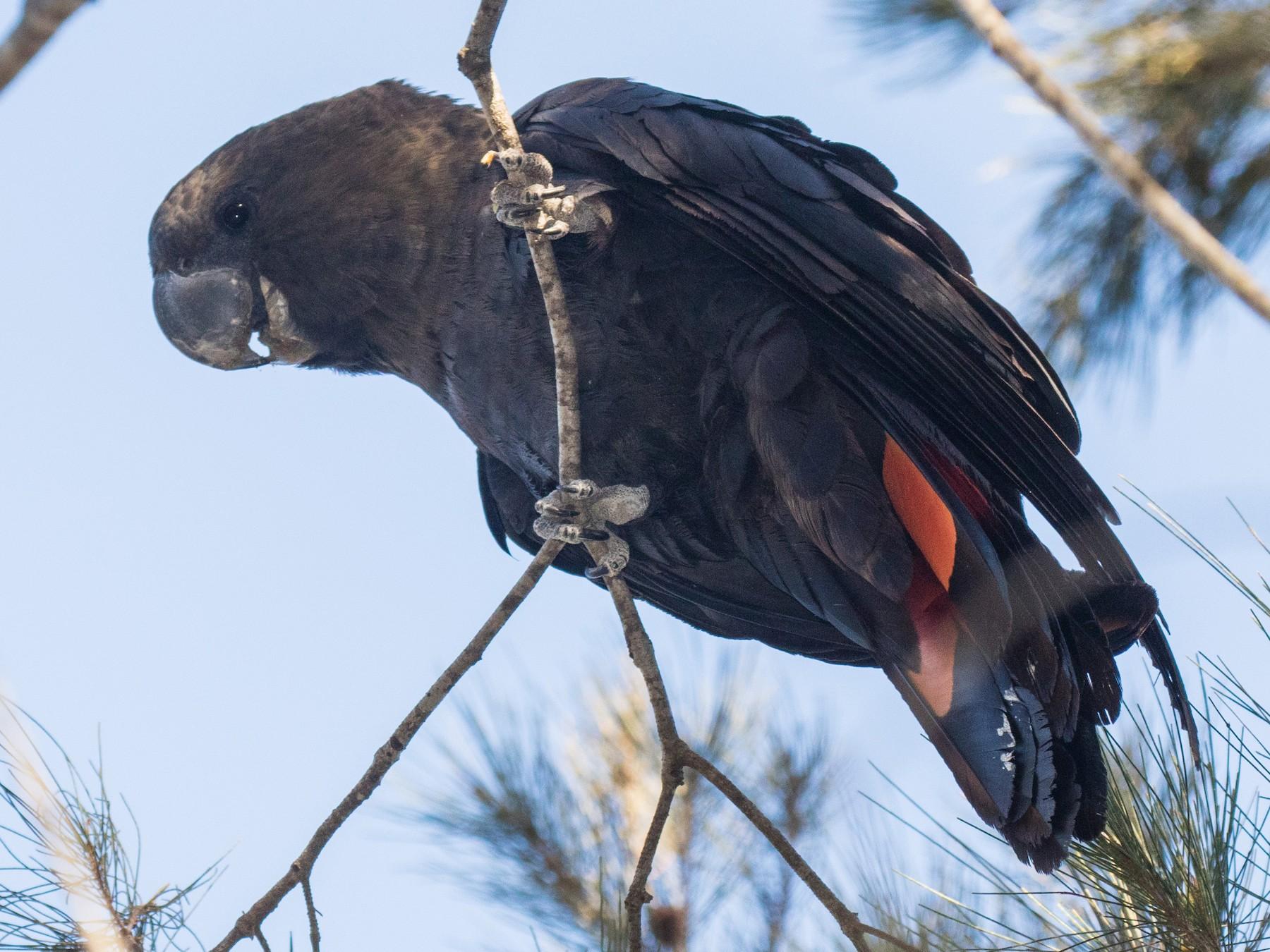 Glossy Black-Cockatoo - Mikayla Burke
