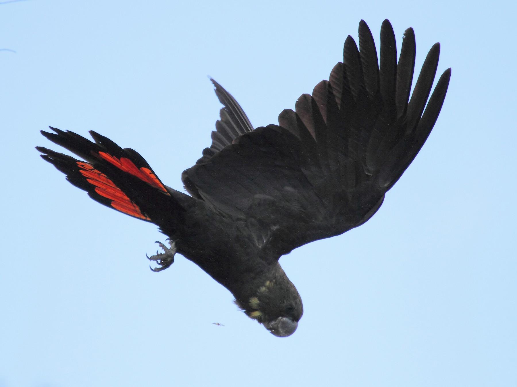Glossy Black-Cockatoo - Michael Rutkowski
