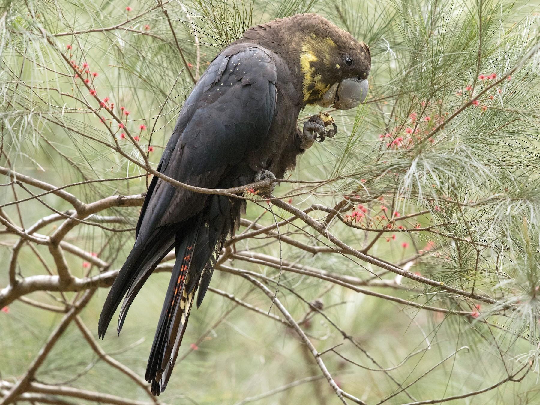 Glossy Black-Cockatoo - David Irving