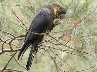 - Glossy Black-Cockatoo