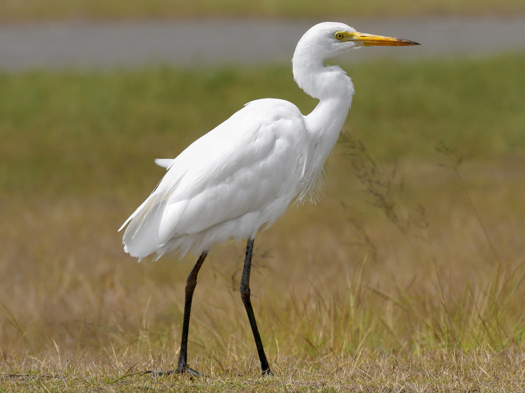 Intermediate Egret - Anonymous eBirder
