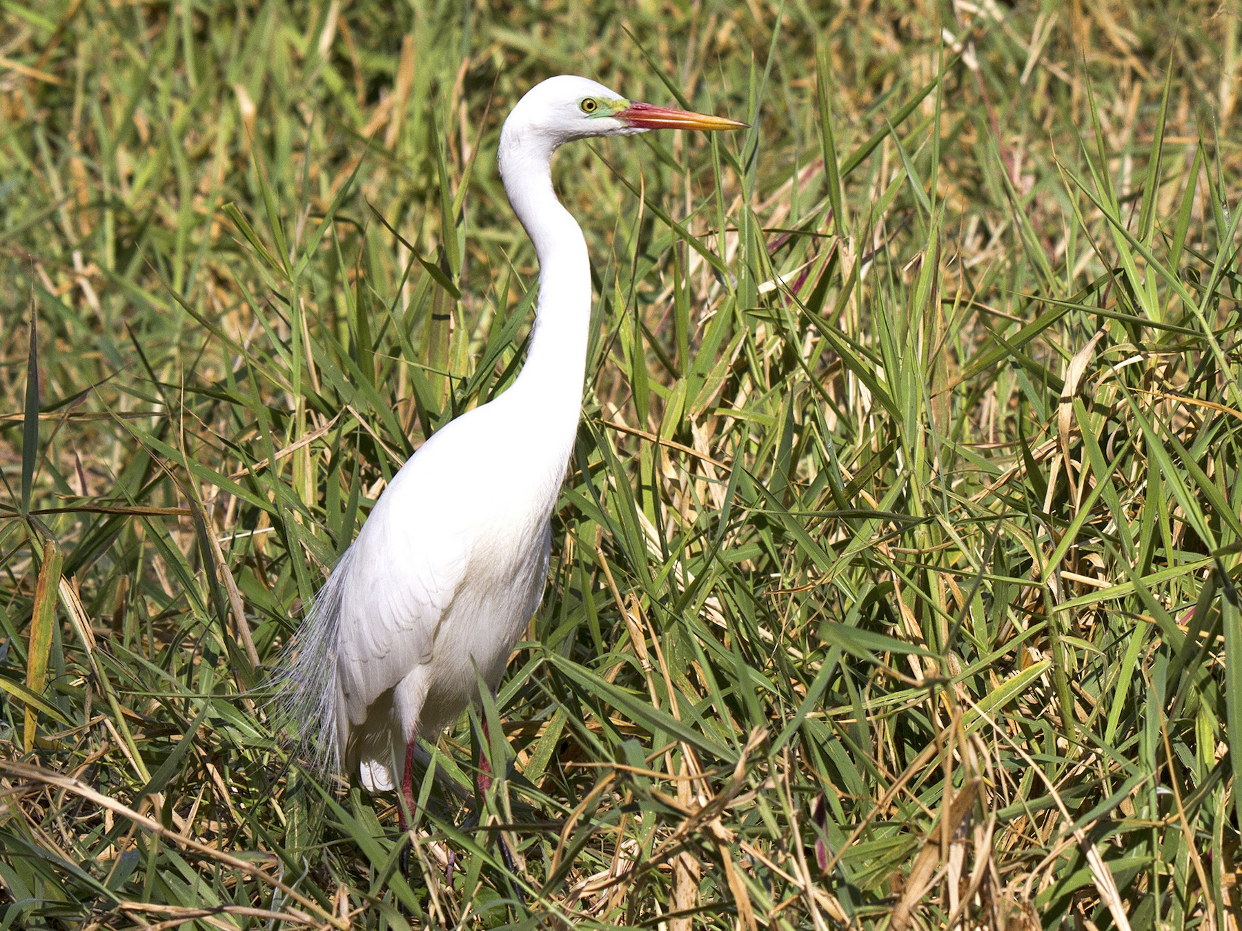Intermediate Egret - Stephen Murray