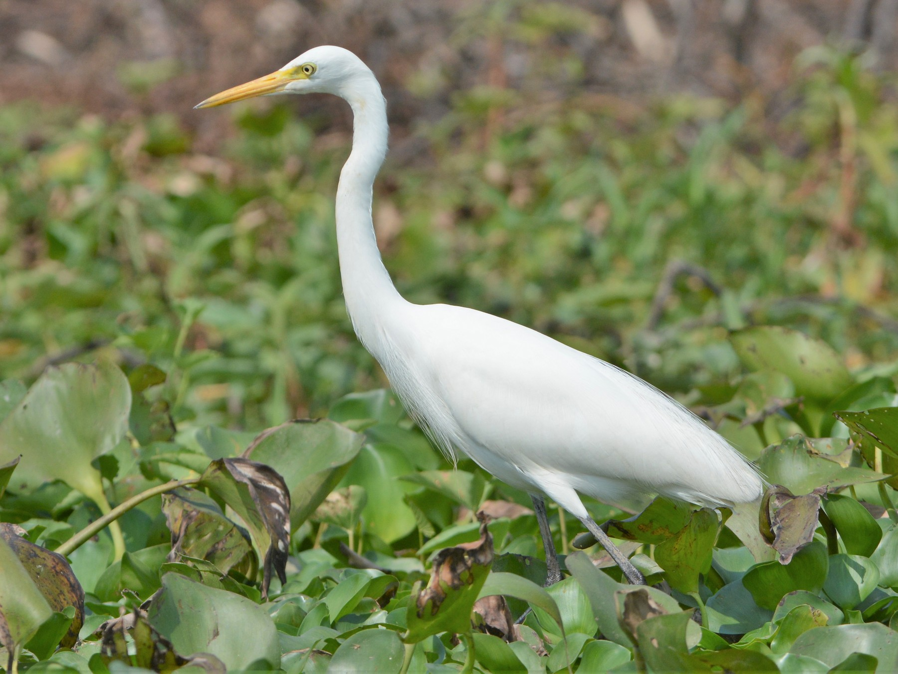 Intermediate Egret - David Hollie