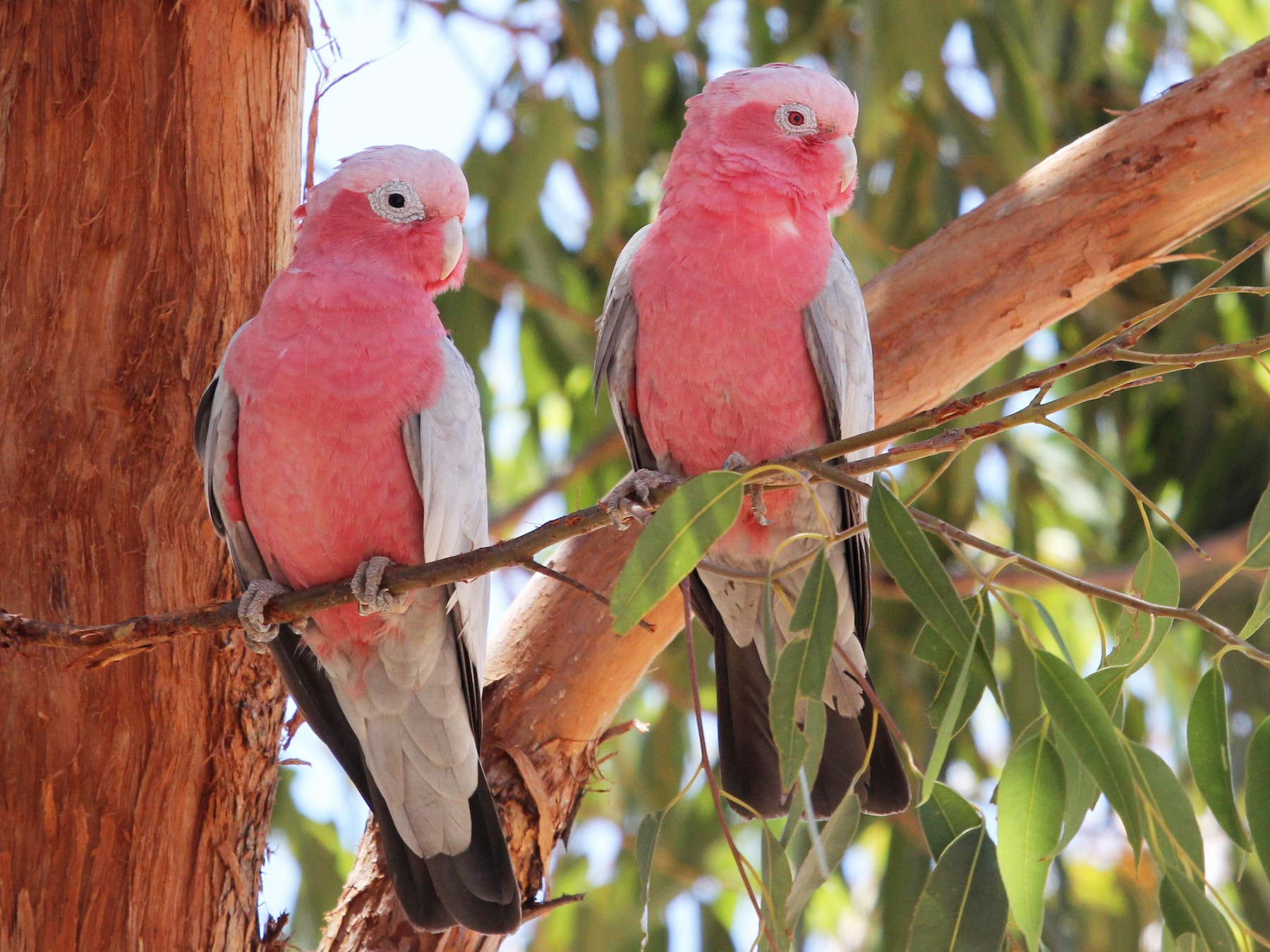 Galah - Ray Turnbull