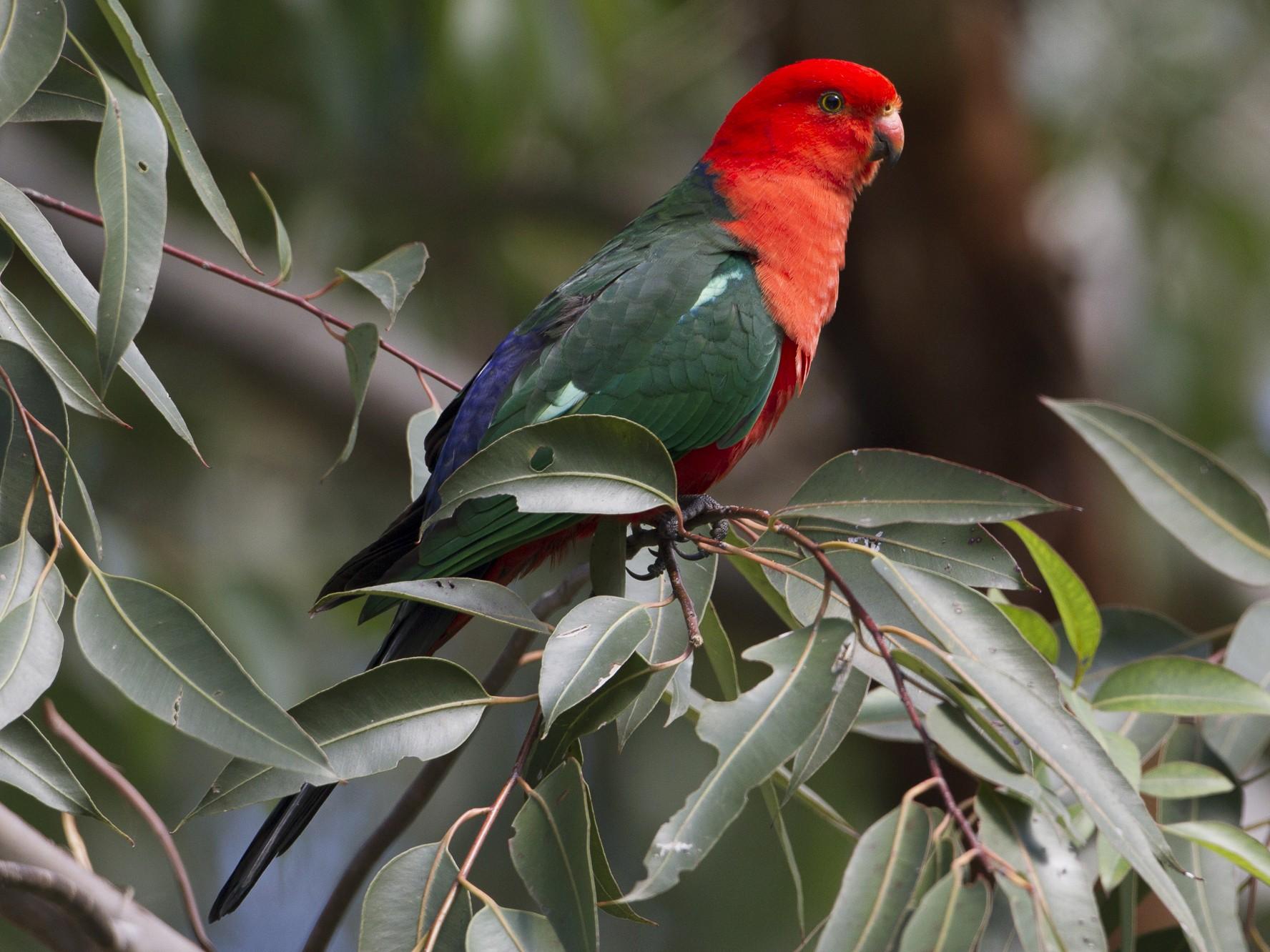 Australian King-Parrot - Brian Sullivan
