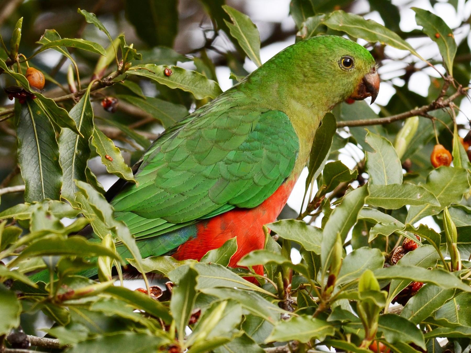 Australian King-Parrot - Stephen Haase