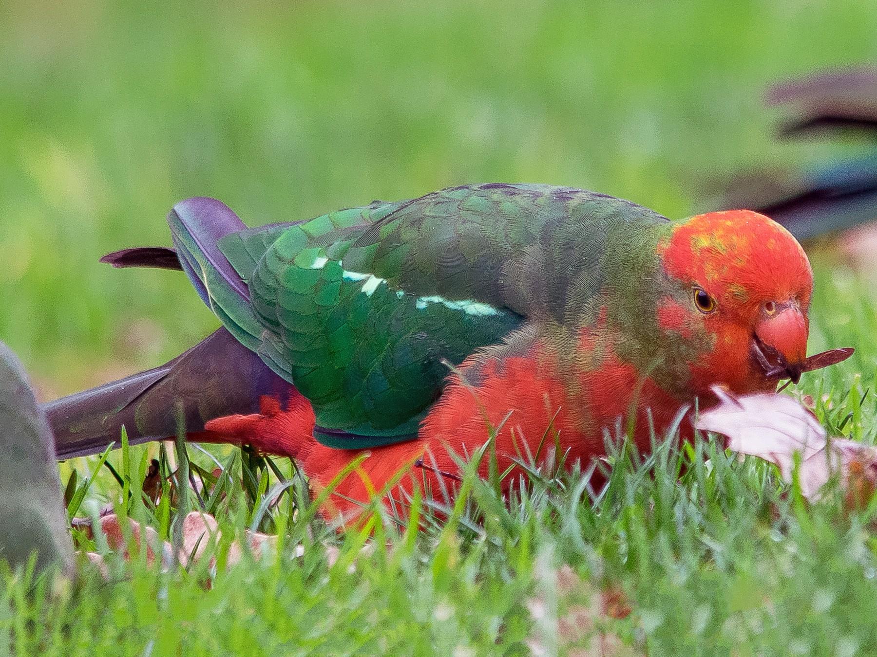 Australian King-Parrot - Adam Fry
