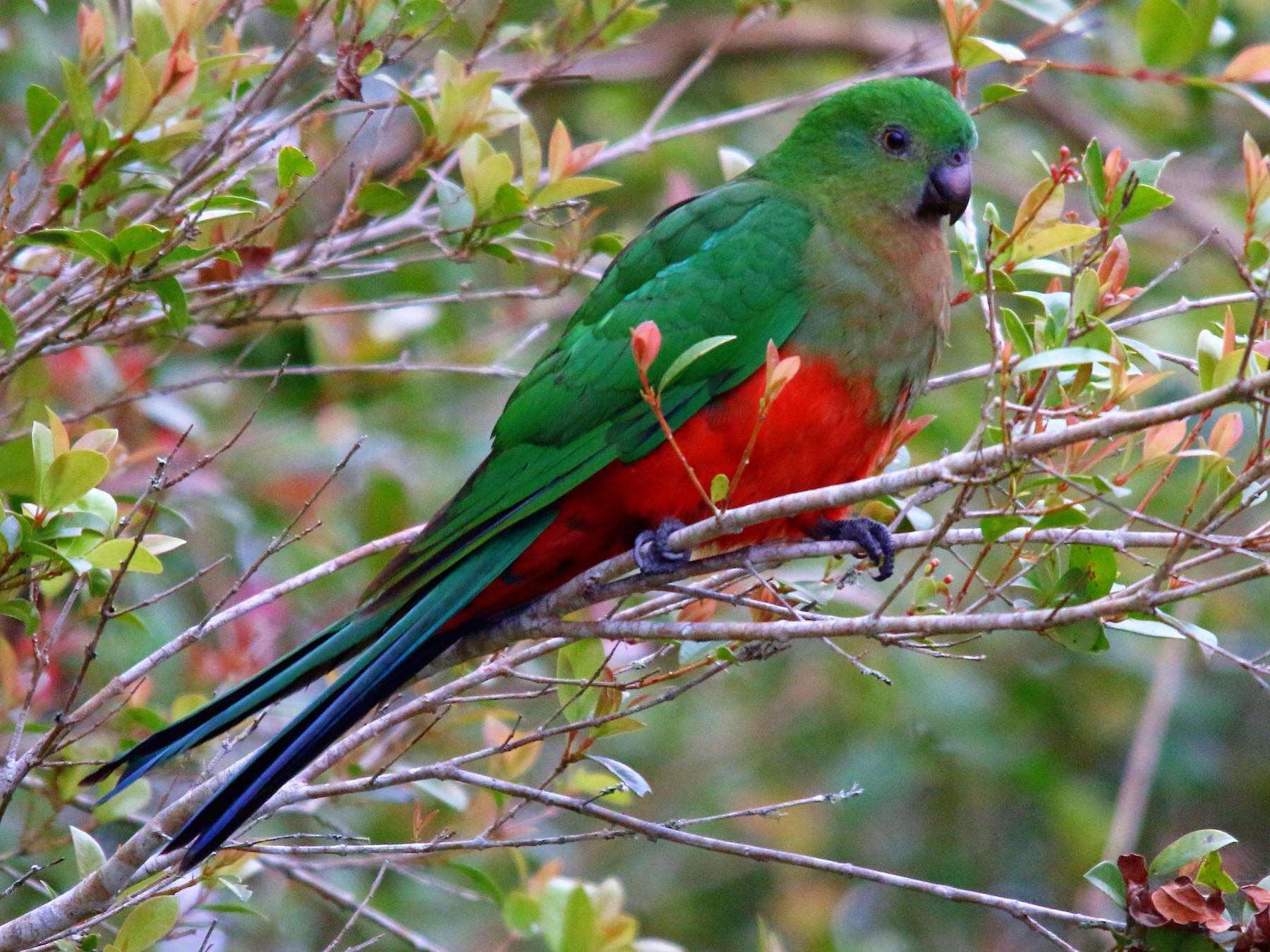 Australian King-Parrot - Alan Atkinson
