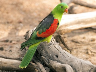 - Red-winged Parrot