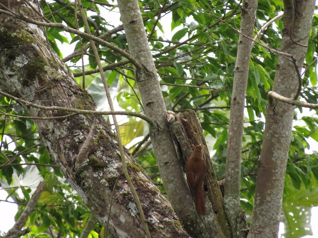 Scaled Woodcreeper