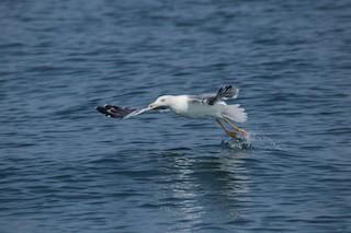 Lesser Black-backed Gull (Heuglin's)