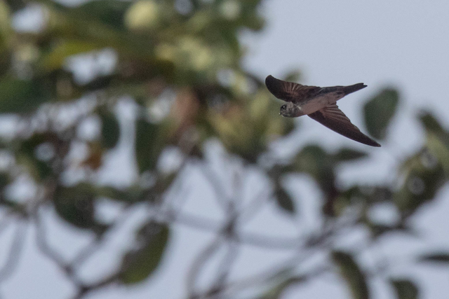 Drab Swiftlet