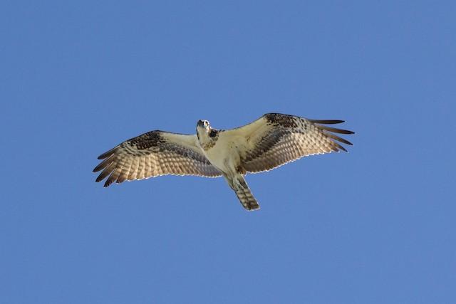 Osprey (carolinensis)