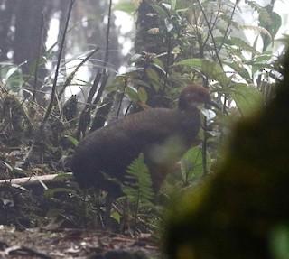 Tawny-breasted Tinamou
