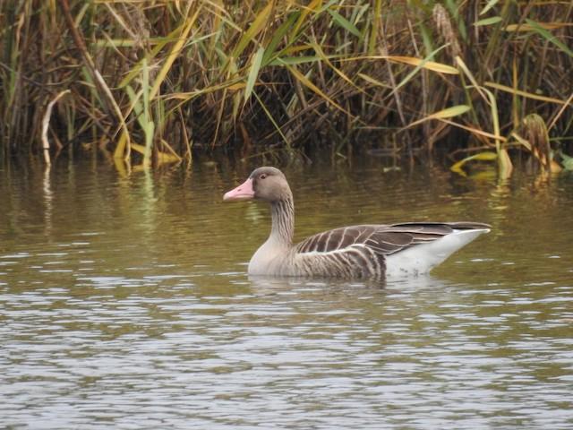 Graylag Goose (Siberian)