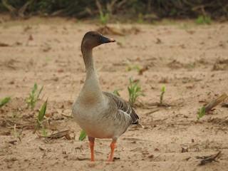Taiga Bean-Goose, ML123155281