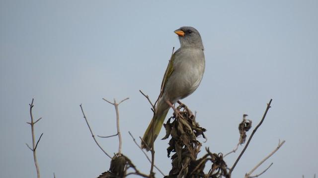 Great Pampa-Finch