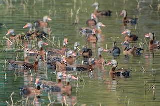 Black-bellied Whistling-Duck